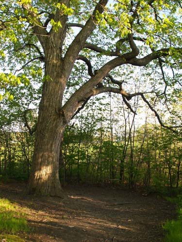 Big tree with swing (photo by Webmaster)