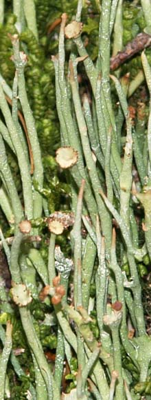 Lichen–photo greatly enlarged  (photo by Webmaster)