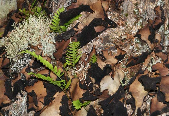 Lichen, rock tripe, and rock cap ferns on the side of a boulder (photo by Webmaster)