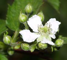 Black raspberry flower and buds (photo by Webmaster)