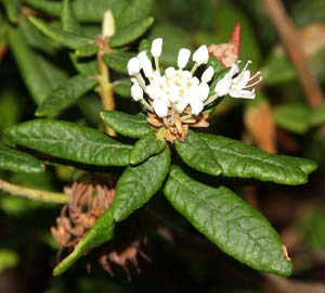 Labrador tea shrub in bloom (photo by Webmaster)