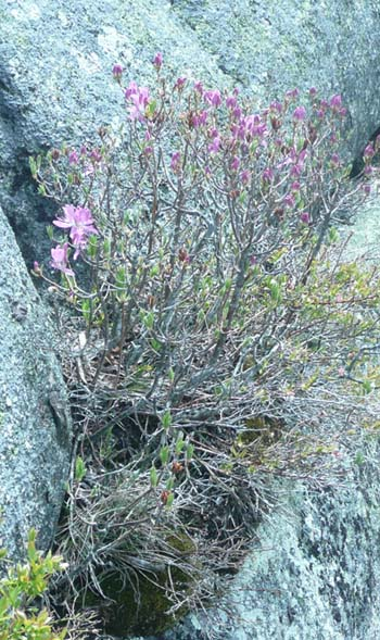 Rhodora growing on a boulder on Beech Mountain Trail (photo by Chip Lary)