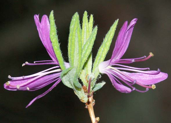Rhodora bloom (photo by Webmaster)