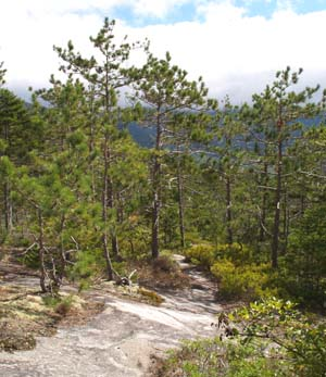 Red pines and trail on the eastern ledges (photo by Webmaster)