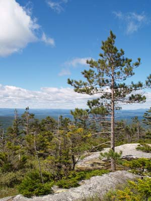 Red pine on western ledges (photo by Webmaster)