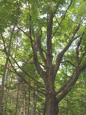 "Old branching ""pasture"" maple tree (photo by Webmaster)"
