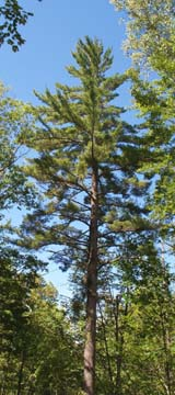White pine (photo by Webmaster)