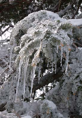 Frozen conifer branch with icicles (photo by Webmaster)