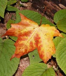 Fallen maple leaf resting on hobblebush leaves (photo by Webmaster)