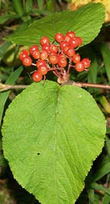 Hobblebush berries (photo by Webmaster)