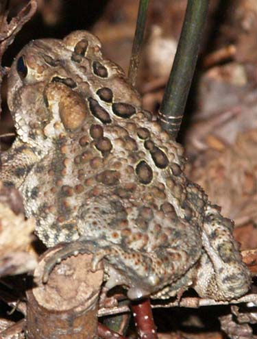 Toad (photo by Webmaster)