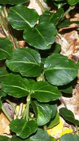 Partridgeberry leaves (photo by Webmaster)
