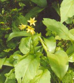 Yellow Clintonia / Bluebead Lily (yellow flowers with shiny leaves) (photo by Webmaster)