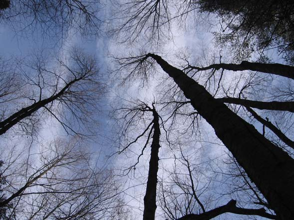 Trees (photo by Dennis Marchand)