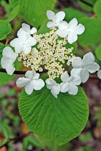 Viburnum lantanoides (hobblebush) in bloom (photo by Ben Kimball)