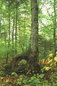 Old Betula alleghaniensis (yellow birch) tree (photo by Ben Kimball)