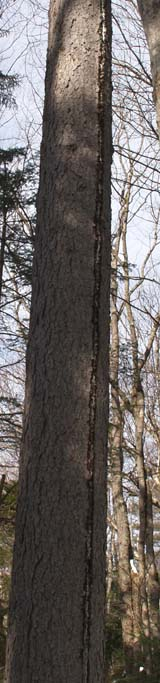 Vertical groove on tree trunk due to lightning strike (photo by Webmaster)