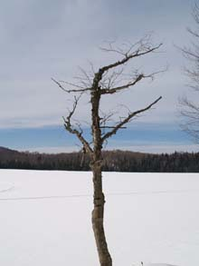 Tree by Long Pond (photo by Webmaster)