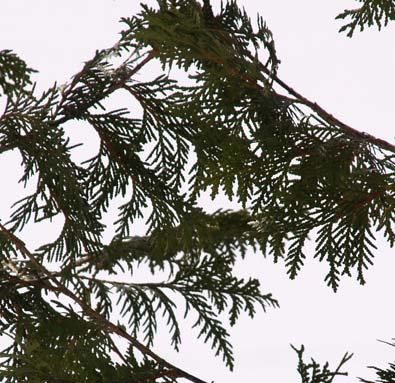Cedar needles (photo by Webmaster)
