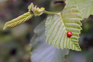 Ladybug on an alder leaf on the way into Hurlbert Swamp (photo by Ben Kimball)
