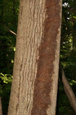 """Hairy"" vine growing up tree trunk (photo by Webmaster)"