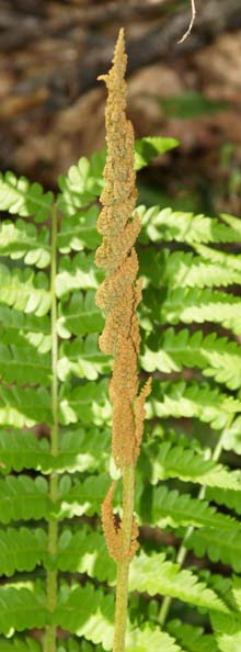 Fertile frond of cinnamon fern (photo by Webmaster)