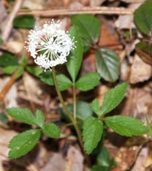 Dwarf ginseng (photo by Webmaster)
