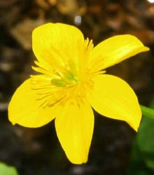 Marsh marigold (photo by Webmaster)