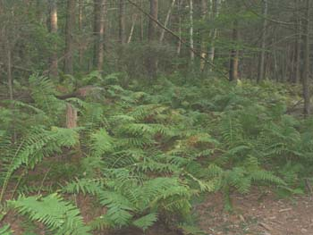 Ferns along the Nehantic/Pachaug Cros path (photo by Webmaster)