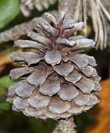 Cone on pitch pine tree (photo by Webmaster)