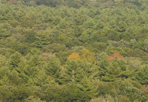 Forested view of Pachaug State Forest from atop Mt. Misery (photo by Webmaster)