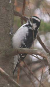Hairy woodpecker along Parker Trail (photo by Webmaster)