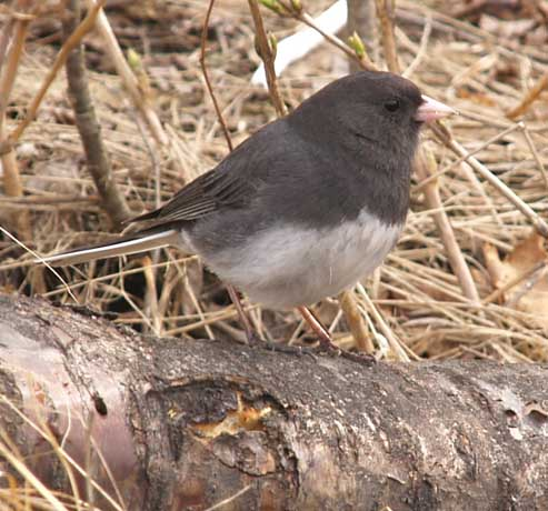 Junco with muddy feet (photo by Webmaster)