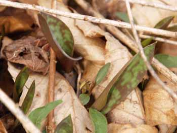 Trout lily leaves (photo by Webmaster)