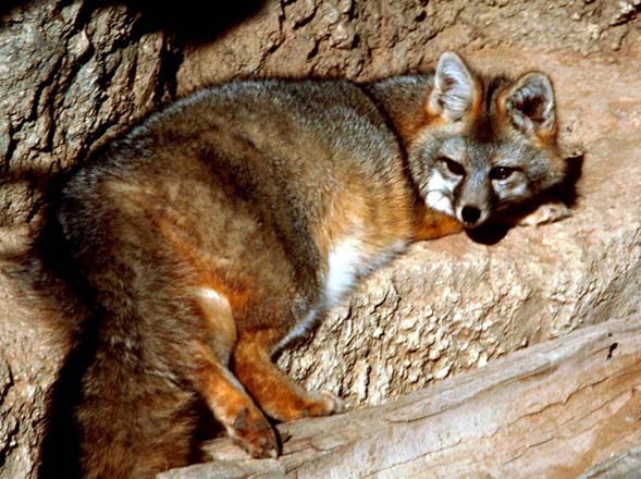 Gray fox on rock (photo courtesy of Illinois Department of Natural Resources)