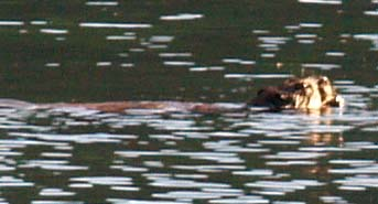 Beaver swimming at Jordan Pond (photo by Webmaster)