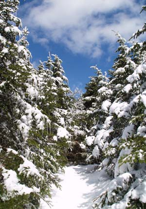 Snow-covered trees and blue skies on Crawford Path (photo by Webmaster)