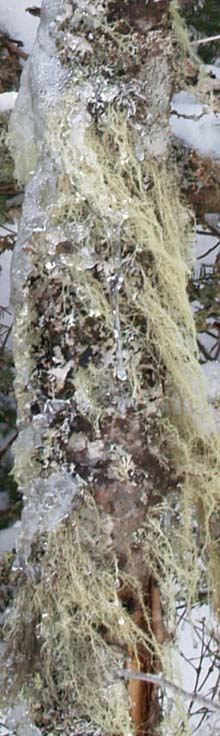 Lichen-covered tree trunk on Webster Cliff Trail (photo by Webmaster)