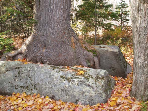 Boulder split by a white pine near the end of Shore Path / Cohos Trail (photo by Webmaster)