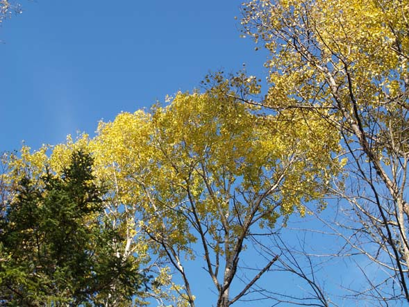 Aspen trees on Colonel Whipple Trail / Cohos Trail (photo by Webmaster)