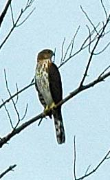 Hawk (Accipiter sp.) at Ponemah (photo by Ben Kimball for the NH Natural Heritage Bureau)