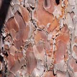Red pine bark (photo by Webmaster)