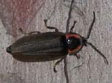 Bug on red pine trunk (photo by Webmaster)