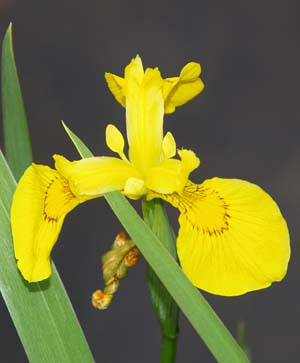 Yellow iris (photo by Webmaster)