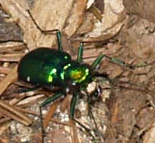 Six spotted green tiger beetle (photo by Webmaster)