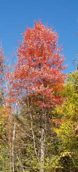 Red Maple on Trail #1 (photo by Webmaster)