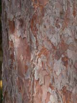 Bark of red pine tree on upper section of Trail #1 (photo by Webmaster)