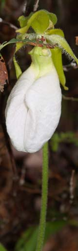 White form of the pink lady's slipper (photo by Webmaster)