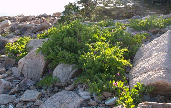 Beach pea plants growing among the rocks (photo by Webmaster)