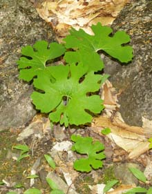 Bloodroot leaves (photo by Webmaster)